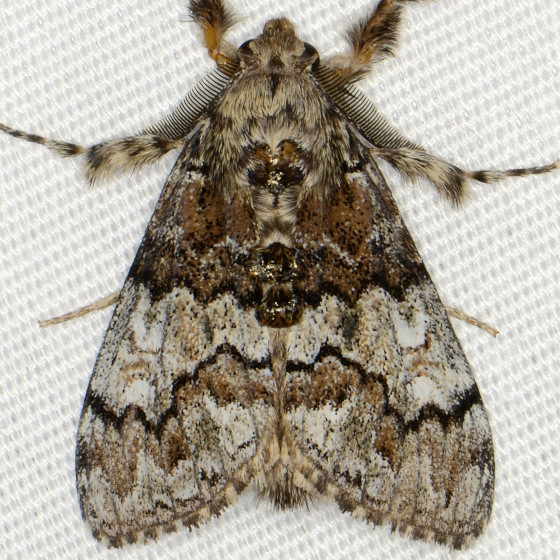 Manto Tussock Moth - Dasychira manto