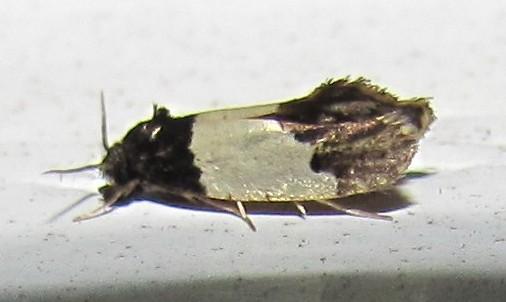 White-banded Kearfottia Moth - Kearfottia albifasciella