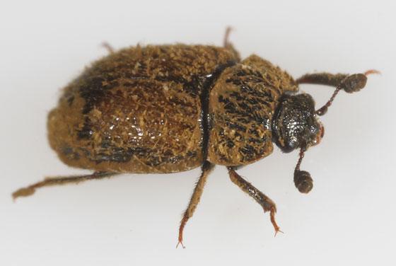 puffball nitidulid - Pocadius fulvipennis