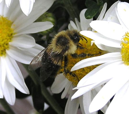 Small Bumble Bee - Bombus impatiens