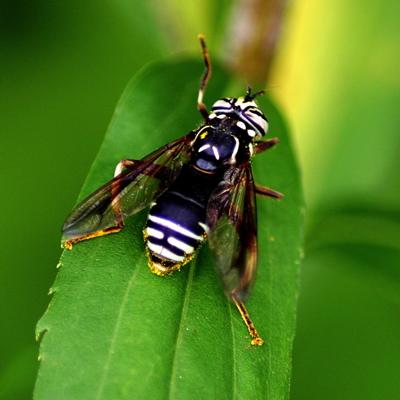 Goldenrod bug 1 - Spilomyia fusca