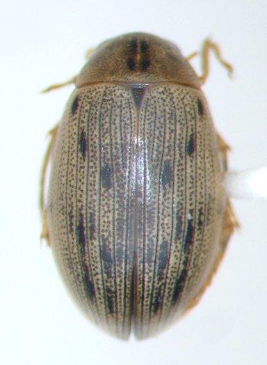 Berosus fraternus - female