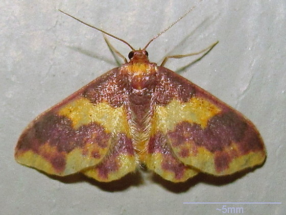 Hodges #7181 - Stained Lophosis Moth - Lophosis labeculata - female