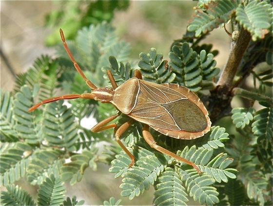 Brown Bug - Chelinidea vittiger