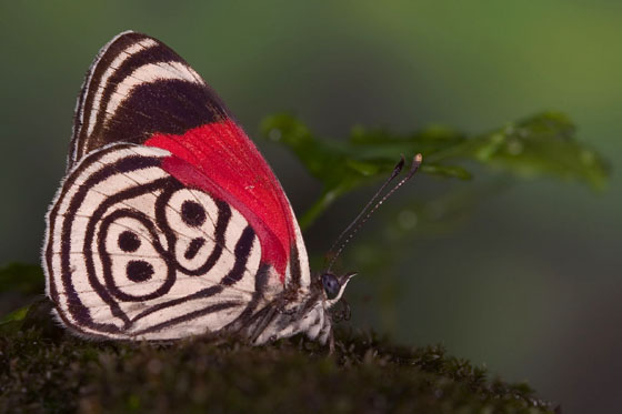 88 Butterfly - Diaethria clymena
