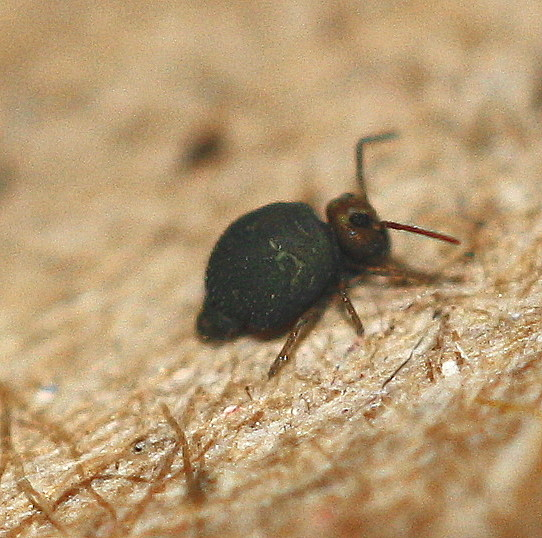 tiny thing - Bourletiella hortensis
