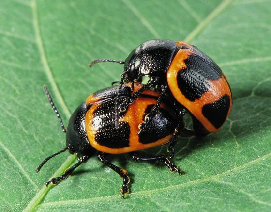 Labidomera clivicollis (Swamp Milkweed Leaf Beetle) - Labidomera clivicollis - male - female