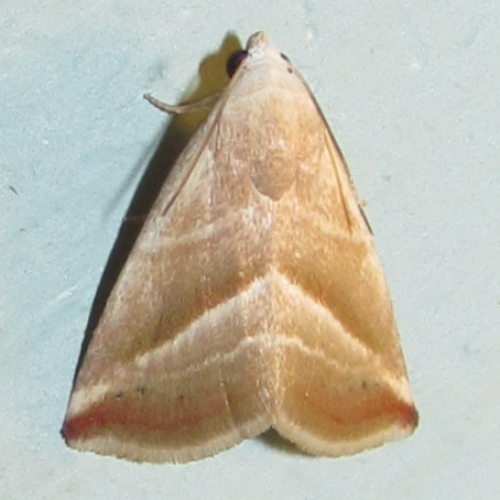 Straight-lined Seed Moth, #9078 - Eublemma recta