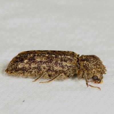 beetle - Lichenophanes bicornis
