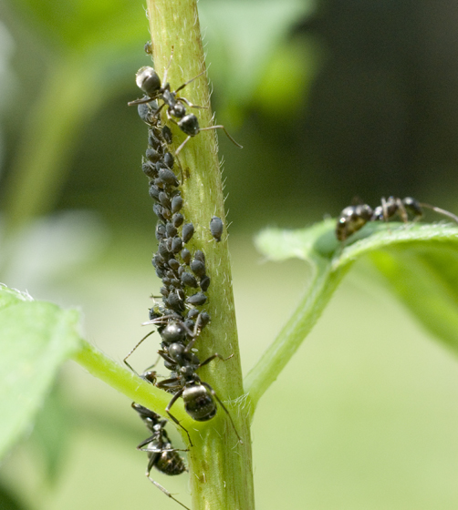 Black Ahpids with ants - Aphis