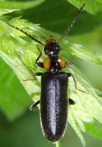 black beetle - Pedilus labiatus - female