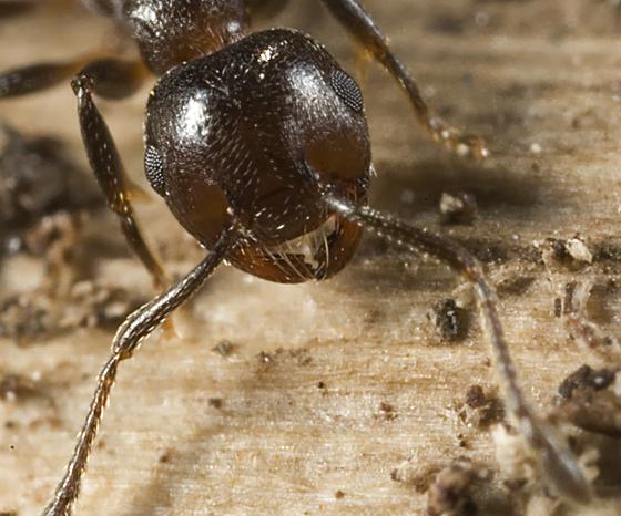Acrobat Ant - Crematogaster