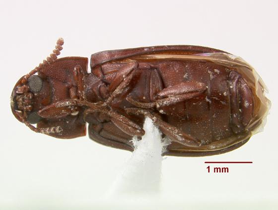 Teneb 2 - Cynaeus angustus