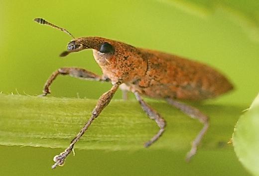 Weevil - Lixus