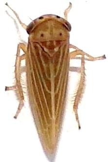 Agallia quadripunctata - Agallia