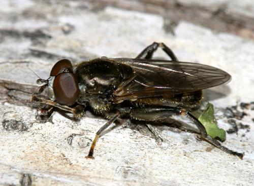 syrphid fly? - Chalcosyrphus nemorum