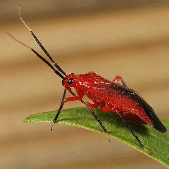 Miridae 9888 - Coccobaphes frontifer
