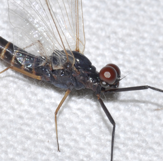 Mayfly - Leptophlebia sp.? - Leptophlebia - male