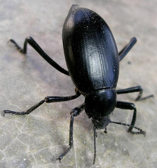 large darkling beetle - Eleodes spinipes