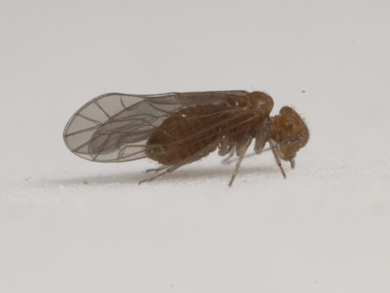 Lachesilla forcepeta - female