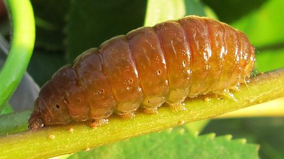 caterpillar - Acronicta fallax