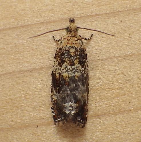 Tortricidae: Celypha cespitana - Celypha cespitana
