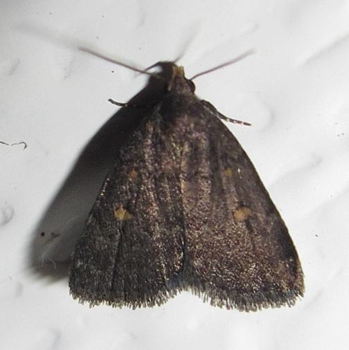 Hodges #8329 - Orange-spotted Idia Moth - Idia diminuendis