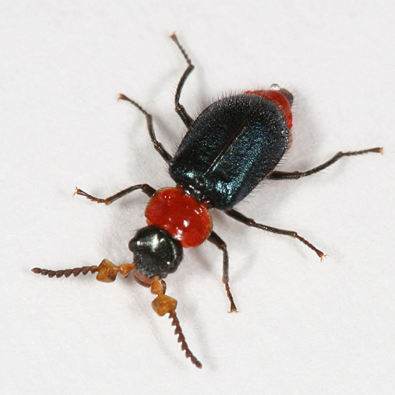 Soft-winged Flower Beetle - Collops tricolor - male