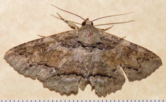 Maple Zale Moth - Hodges#8692 - Zale galbanata