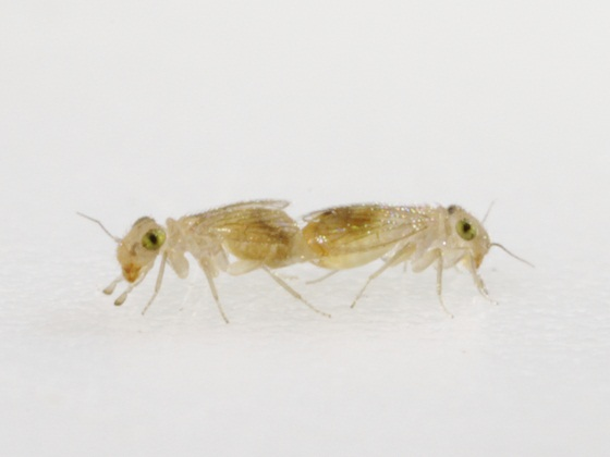 Rhyopsocus bentonae Sommerman - Rhyopsocus bentonae - male - female