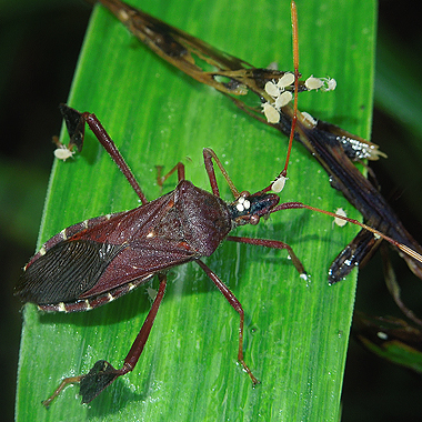 Leaf-footed Bug 22 - Leptoglossus oppositus