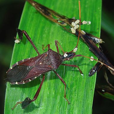 Leaf-footed Bug 22 - Leptoglossus oppositus