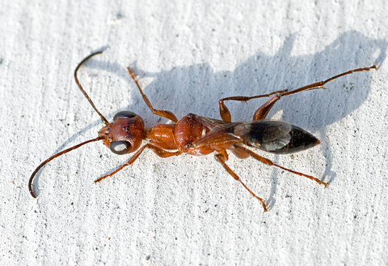 Wasp? - Ampulex ferruginea