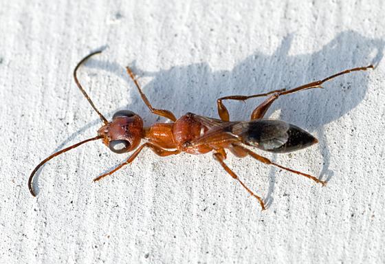 Wasp? - Ampulex ferruginea