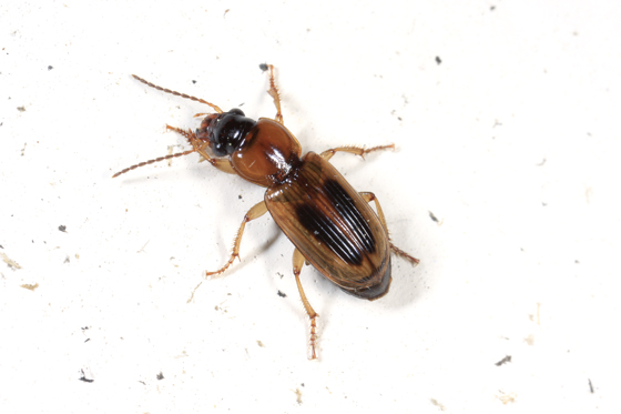 Beetle - Stenolophus comma