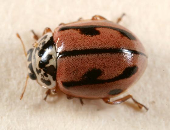 Ladybeetle - Mulsantina hudsonica