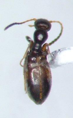 Acanthinus myrmecops