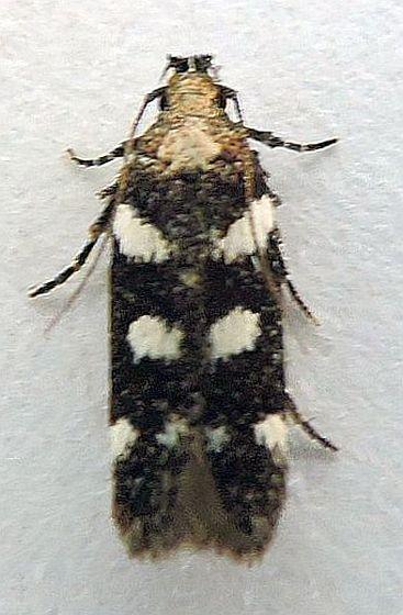 Arizona Moth - Filatima arizonella