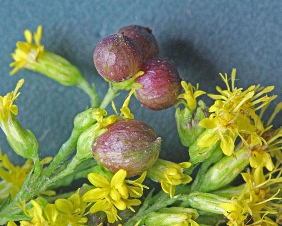 Goldenrod flower galls Rhopalomyia sp mbe - Schizomyia racemicola