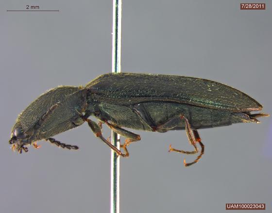 Corymbitodes lobatus