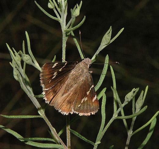 Skipper - Thorybes bathyllus