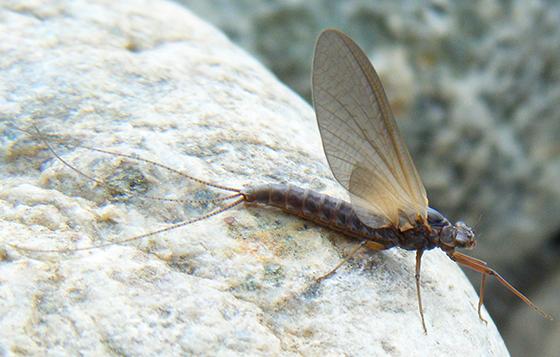 Stone Fly? - Leptophlebia