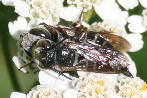 Mating flies? [note: actually bees] - Coelioxys sayi