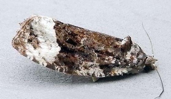 Pennsylvania Moth - Apotomis funerea