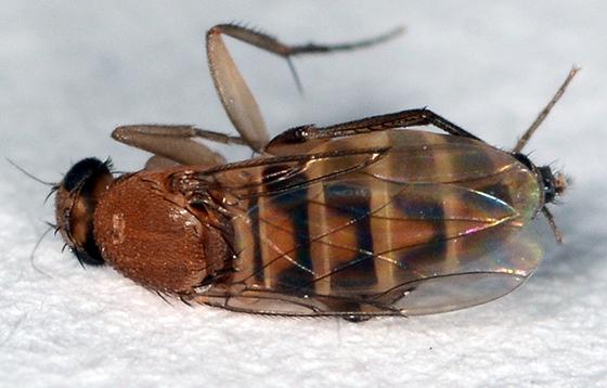 Fly - Megaselia scalaris