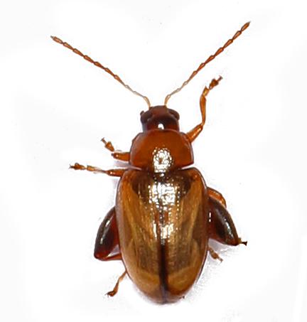 Flea Beetle - Psylliodes affinis