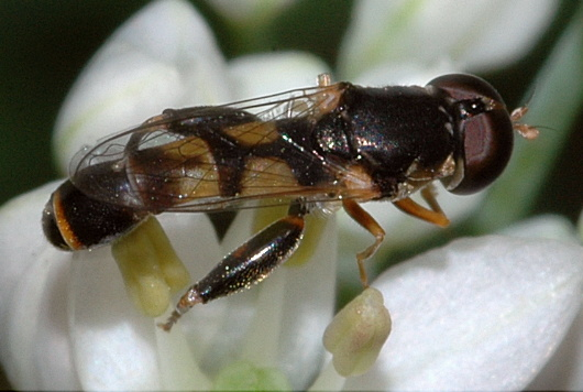 Syrphid Fly - Syritta pipiens - male