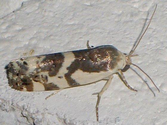 Therasea orba - Tarache huachuca