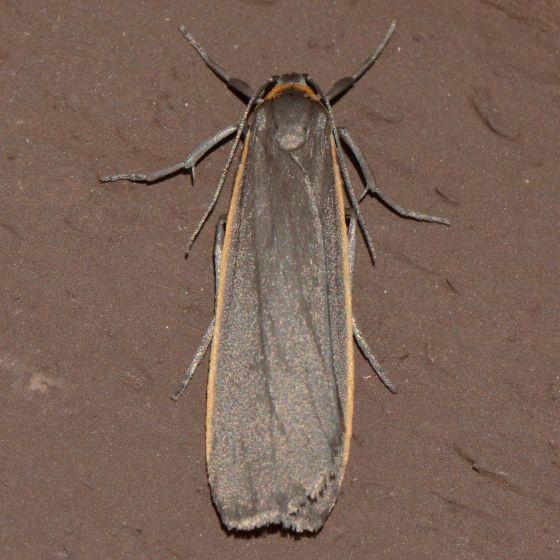 A Lichen of Two Colors - Manulea bicolor