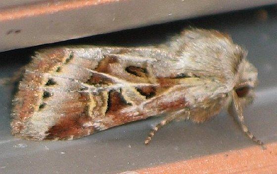 Wrinkled Trichordestra - Trichordestra rugosa